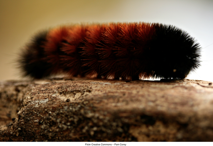 woolly_bear_caterpillar.png